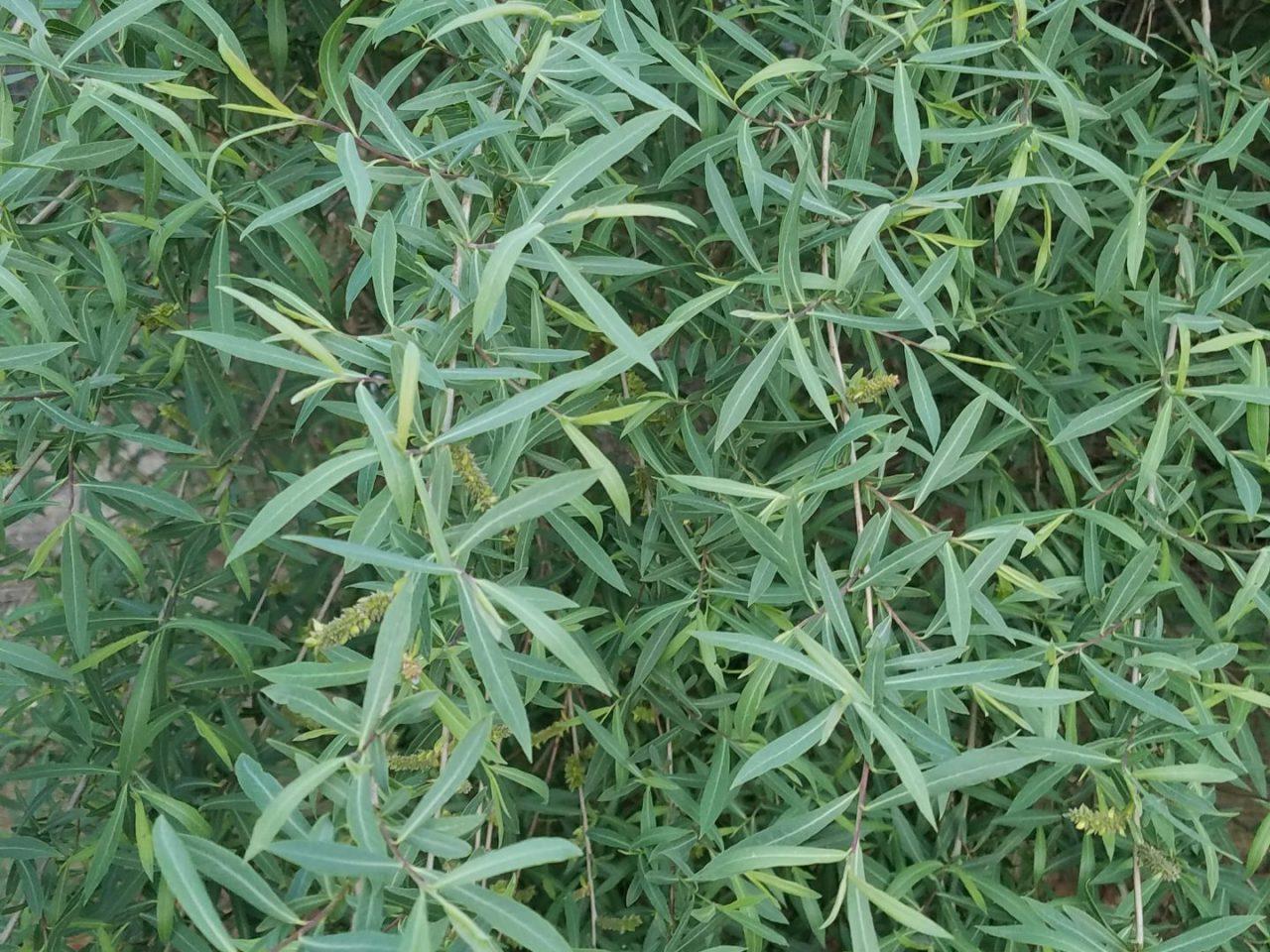 Pflanze11 Trumpf